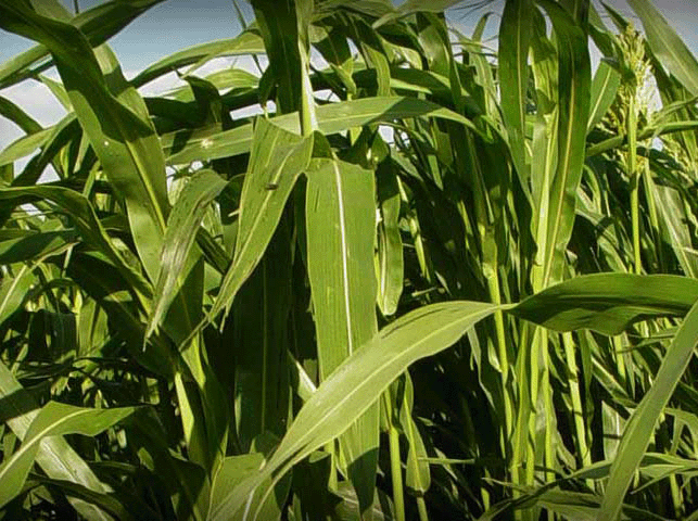 atrazine, broadleaf weeds