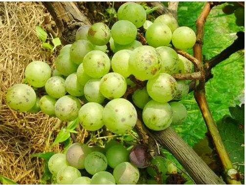 Penconazole, powdery mildew, grape