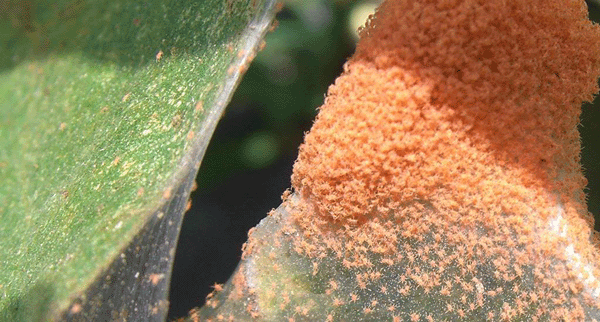 red spider mite, rust mite